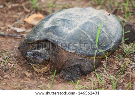 Large snapping turtle - stock photo