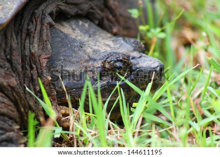 Large snapping turtle, native to Oklahoma, rests in green grass - stock photo