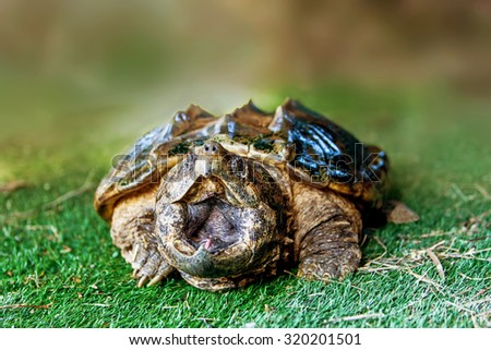 Large snapping turtle sitting on the grass with mouth wide open