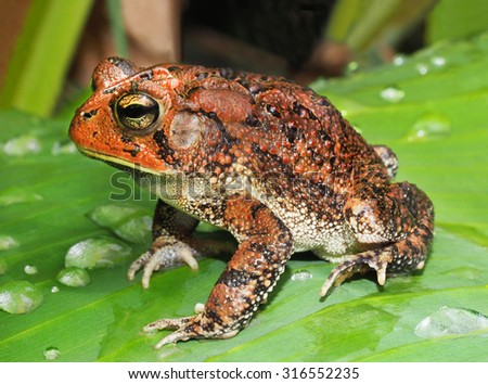 Large Southern Toad on Tropical Plant Leaf After a Rain Storm    - stock photo