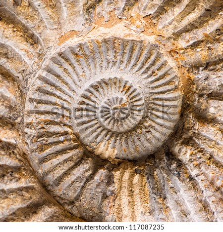 Large,spiral fossil shell of an ammonite