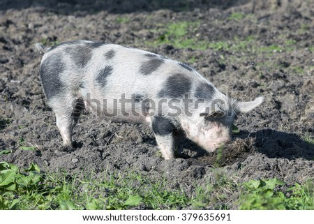 large spotted pig outdoors in dirt on sunny day - stock photo
