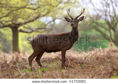 Large stag deer in Richmond Park, England - stock photo