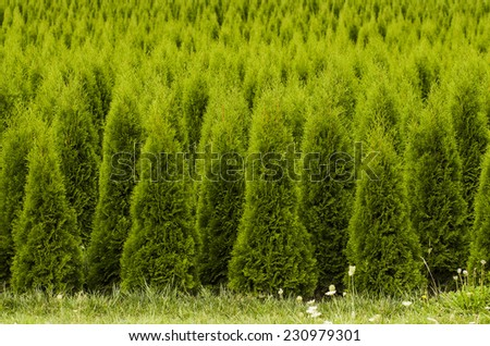 Large stand of arborvitae evergreen nursery trees in the Willamette Valley - stock photo