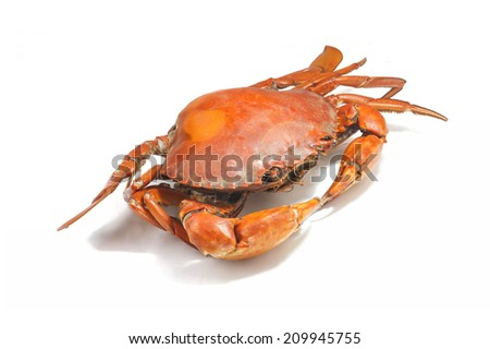 Large steamed crab cooked in red on a white background.  - stock photo