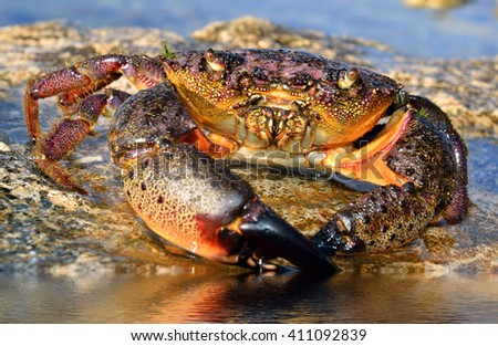 Large Stone Crab sits on the seashore - stock photo