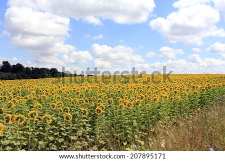 large sunflower field in one Ukrainian village - stock photo