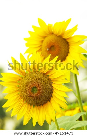 large sunflowers on leaves in the field