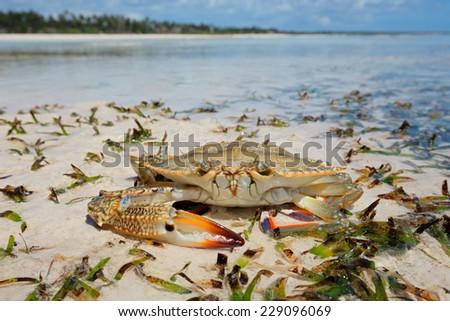 Large swimming crab on the beach, Zanzibar island, Tanzania - stock photo