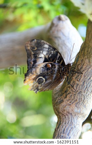 Large Tawny Owl Butterfly resting on a tree branch. - stock photo