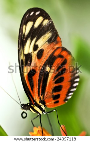 Large tiger butterfly sitting on a flower