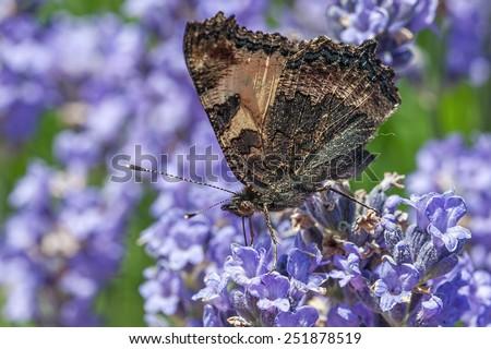 Large Tortoiseshell (Nymphalis polychloros) on lavender flower - stock photo