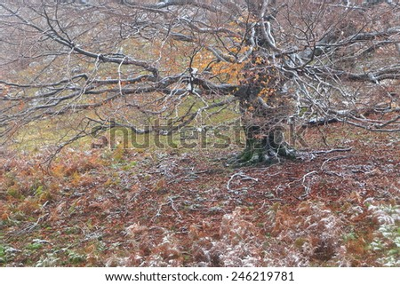 Large tree covered with frozen flakes in cold autumn day