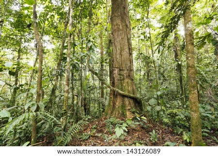 Large tree in primary tropical rainforest, Ecuador