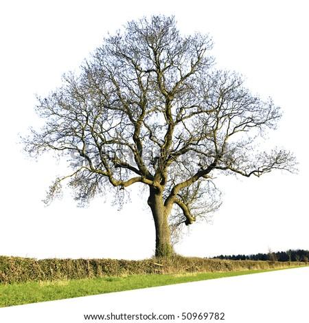 Large Tree Isolated Against White Background - stock photo