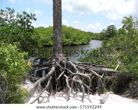 Large Tree Roots - stock photo