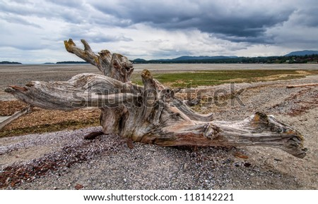 Large tree stump driftwood on beach on Vancouver Island. - stock photo