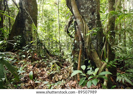 Large trees in the interior of tropical rainforest in Peru with a liana in foreground