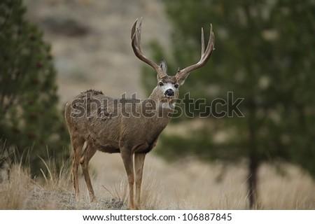 Large Trophy Mule Deer Buck standing alert, facing camera - stock photo