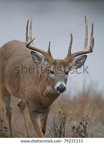 Large Trophy 10 point Whitetail Deer, close-up of buck walking toward camera - stock photo