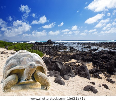 Large turtle (Megalochelys gigantea) at the sea edge on background of a tropical landscape. - stock photo