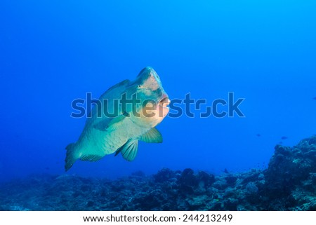 Large, ugly Bumphead Parrotfish on a tropical coral reef