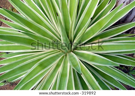 Large variegated agave angustifolia - stock photo