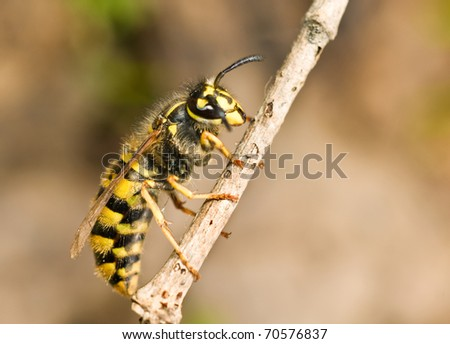 Large Wasp on thin branch in Spring - stock photo