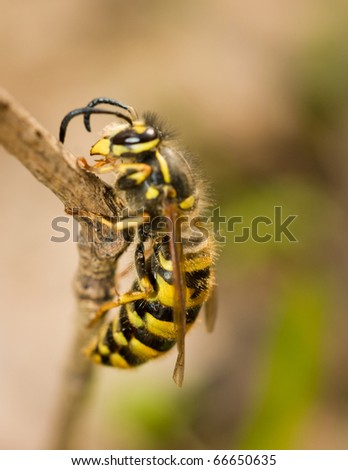 Large wasp on thin branch in spring. Macro shot - stock photo