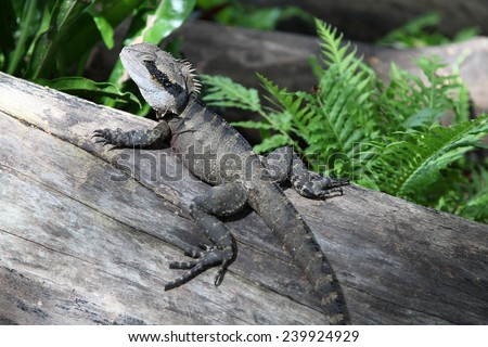 Large water dragon lizard in Roma Street Parkslands, Queensland, Australia - stock photo