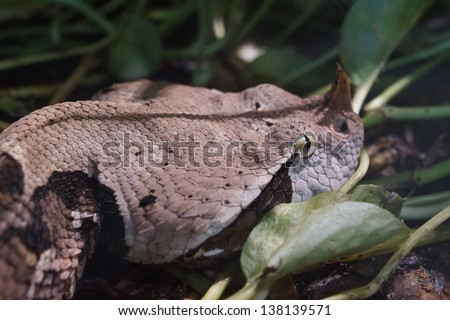 Large West African Gaboon Viper - Bitis gabonica rhinoceros - stock photo