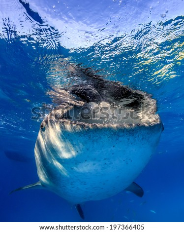 Large Whale Shark feeding near a boat on the surface