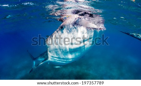 Large Whale Shark feeding near the surface - stock photo
