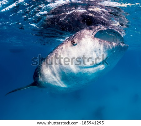 Large whale shark feeding on tiny fish near the surface of the ocean - stock photo