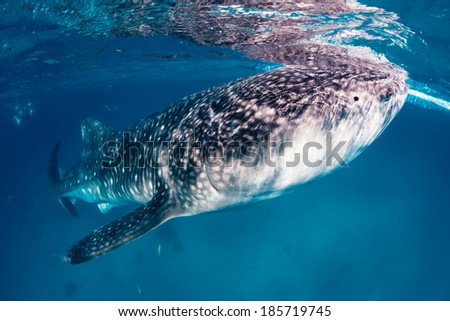 Large Whale Shark feeds near the surface of the ocean - stock photo