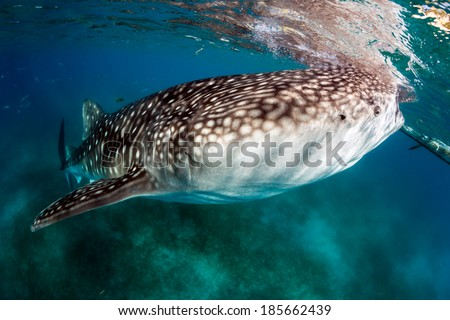 Large Whale Shark feeds near the surface of the ocean.  Whale sharks are amongst the largest fish on the planet and are threatened due to asian fishing and finning markets. - stock photo