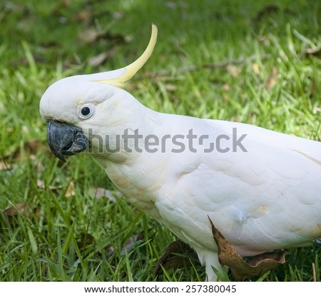 Large white cockatoo parrot  from the forests of Australia - stock photo