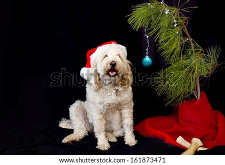 Large white golden doodle fascinated by her single branch twig of a tree with one Christmas ball hanging for decoration