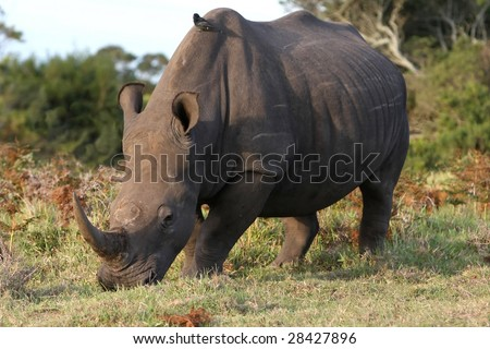 Large white rhino grazing while a bird perches on it's back - stock photo