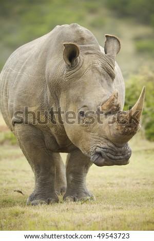 Large white rhinoceros - stock photo