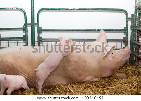 Large white swine (Yorkshire pig) laying on straw while piglets playing and asking for food - stock photo