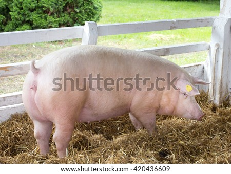 Large white swine (Yorkshire pig) standing on straw in pen with grass and greenery in background on farm - stock photo