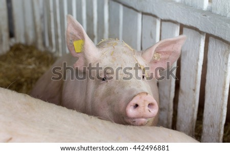 Large white swine (Yorkshire pig) standing on straw in pen with white wooden fence in background - stock photo