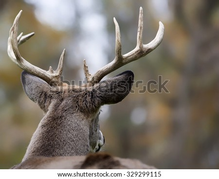 Large white-tailed deer buck; close up head and shoulders, looking from behind.
