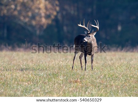 Large white-tailed deer buck in an open meadow in Smoky Mountain National Park, Tennessee