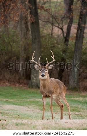 Large white-tailed deer buck in an open meadow on a winter day in Jefferson Barracks National Cemetery near St. Louis, Missouri - stock photo