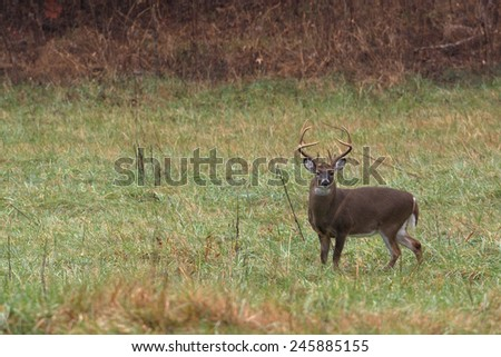 Large white-tailed deer buck inan open field in Smoky Mountain National Park in Tennessee - stock photo