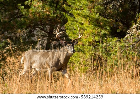 Large white-tailed deer buck walking along the edge of the woods in Smoky Mountain National Park, Tennessee