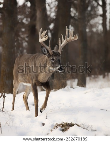 Large white-tailed deer buck walking through the forest.  Late autumn in Wisconsin - stock photo