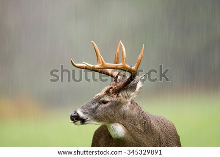 Large white-tailed deer buck with its tongue out standing in an open meadow during a rain storm in Smoky Mountain National Park - stock photo